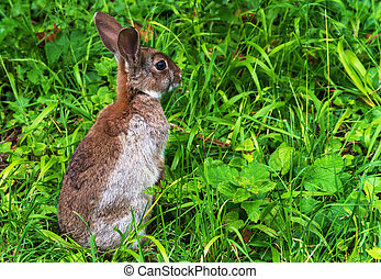 Alert young wild rabbit (Oryctolagus cuniculus) sat up on...