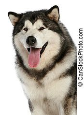 Alaskan malamute dog on white background
