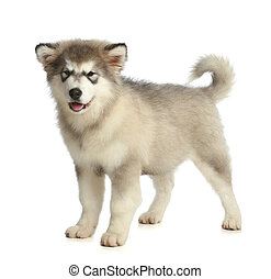 Alaskan Malamute breed puppy (3 months) on a white...