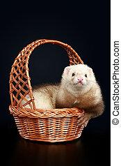 Funny albino ferret in wattled basket