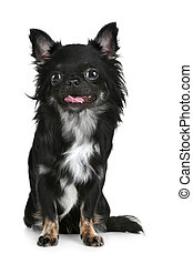 Black long-haired chihuahua puppy on white background