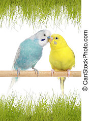 A pair of budgerigars