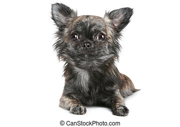Long-haired chihuahua dog on a white background -...