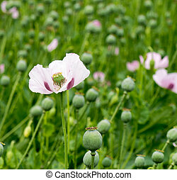 Single Opium poppy - square shot of a Single Opium poppy...