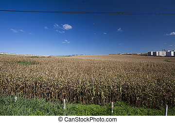 Aerial view of a cornfield in the countryside.