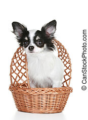 Long-haired chihuahua puppy in wattled basket on white...