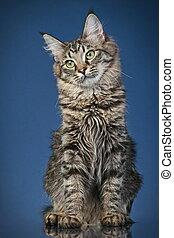Maine, coon, gato, (6, months)