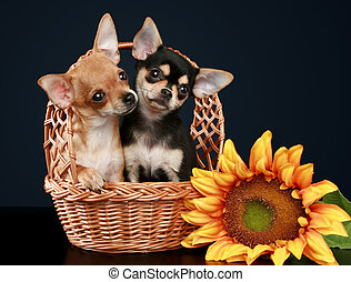 Two beautiful chihuahua puppy in wattled basket