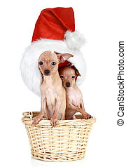 Two Toy terrier with Christmas cap in basket