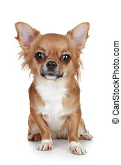 Brown long-haired chihuahua puppy sits on white background