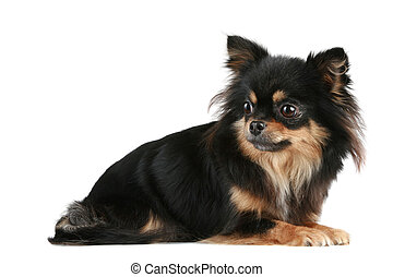 Long-haired Chihuahua lies on a white background