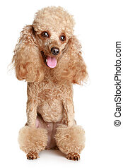 Apricot poodle, isolated on a white background