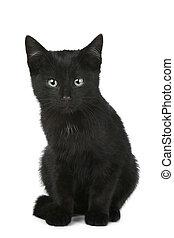 Black shorthair kitten