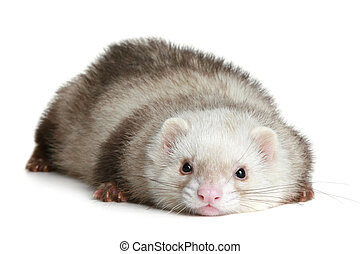 Funny ferret on a white background