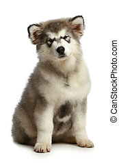 Alaskan Malamute puppy (3 months) on white background