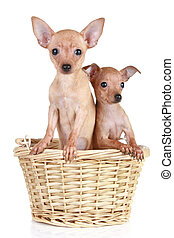 Two tiny toy terrier in basket
