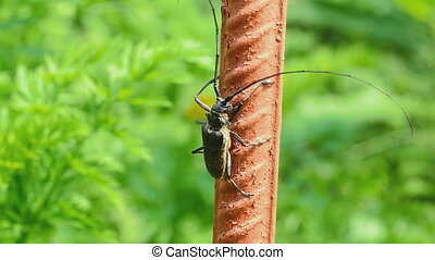 Great capricorn beetle Cerambyx cerdo climbing up the metal...