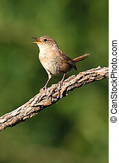 House Wren (troglodytes aedon) on a perch