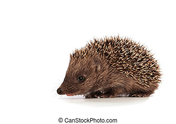 Small hedgehog - The small prickly hedgehog looks at me