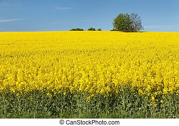 golden field of flowering rapeseed with blue sky - brassica...