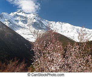 Annapurna II 2 with flowering apricot tree - Front summit of...
