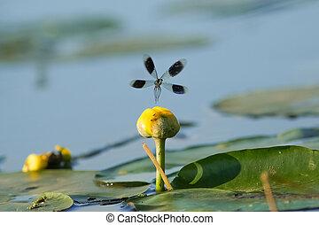 Male Banded Demoiselle damselfly(Calopteryx splendens)...