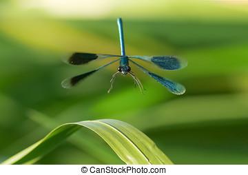 Male Banded Demoiselle damselfly(Calopteryx splendens) in...