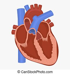 Heart anatomy vector - Human Heart anatomy, science medicine...