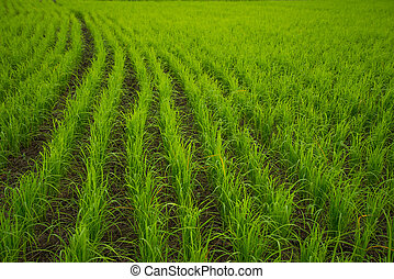 Rice field,Agriculture background