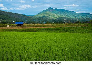 arroz, campo, Agricultura, Plano de fondo