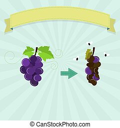 Rotten grape with flies and new grape. Blank ribbon for...