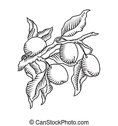 Plum branch with fruit - Vector illustration of plum branch...