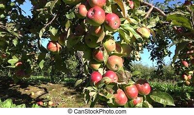 apple trees growing in row in garden. Season autumn harvest....