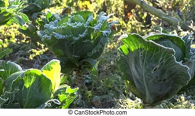 frosty cabbage plants in autumn morning in farm field. Focus...