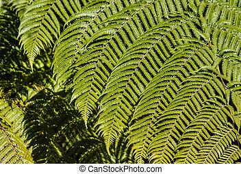 fresh silver fern fronds - closeup of fresh silver fern...