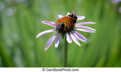 Two bumblebees collecting nectar on a daisy - Two bumblebees...