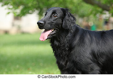 Amazing Flat coated retriever in the garden - Amazing Flat...