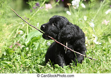 Beautiful puppy of flat coated retriever - Beautiful black...