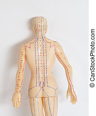 Medical acupuncture model of human on white background