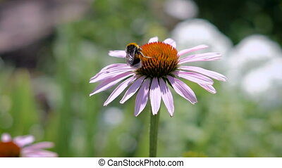The bumblebee collecting nectar on a daisy - The bumblebee...