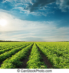 deep blue sky on sunset and field with green tomatoes