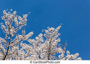 Cereza, flor, con, azul, cielo, Plano de fondo, sakura,...