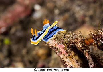Chromodoris annae Nudibranch Sea Slug - Underwater picture...