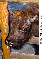 The European bison Bison bonasus - The European bison Bison...