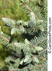 Young branch of the blue spruce