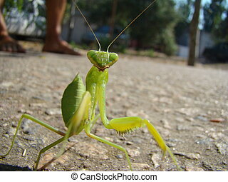 mantis - green mantis is posing for the camera