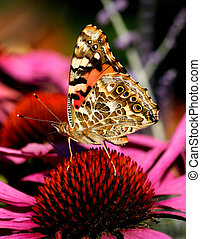 Painted Lady Butterfly (brush-footed Vanessa cardui) on...