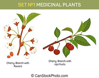 Medicinal or medical plant - branch of cherry blossom....