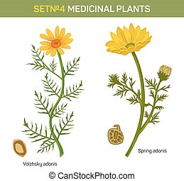 Wolgensis and spring adonis flowering medicinal plant with...