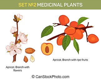 Apricot branch with flowers and ripe fruits cross-section....